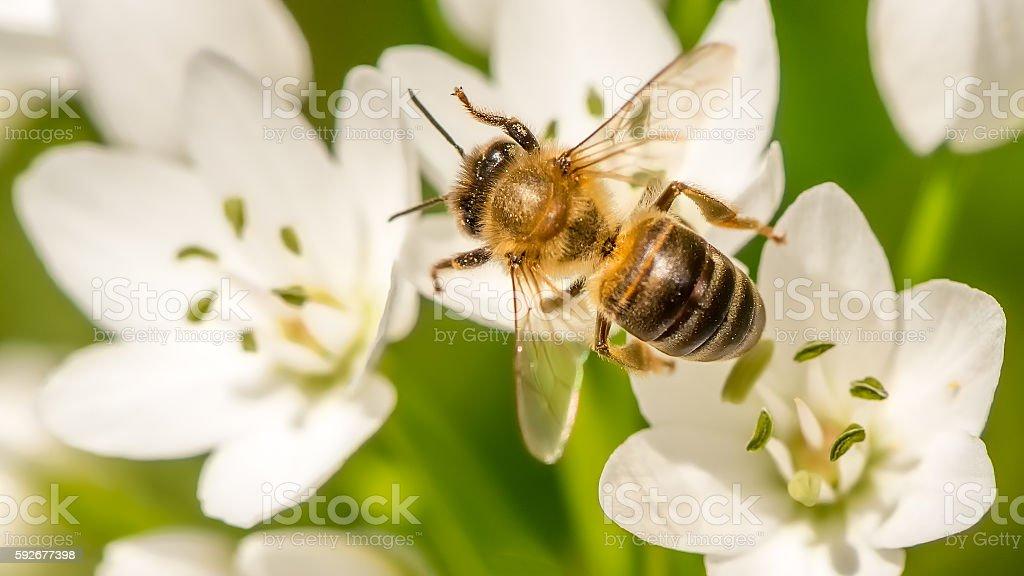 Honey Bee collecting nectar stock photo