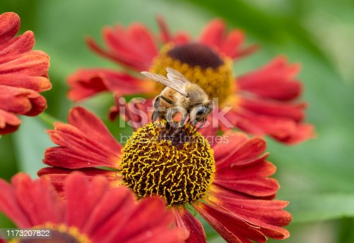 Macro photography closeup of a honey bee collecting pollen from a red Hellenium flower as it crawls over the petals