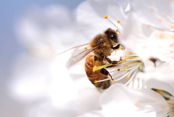 Honey bee collecting pollen from flowers. Macro shot. stock photo