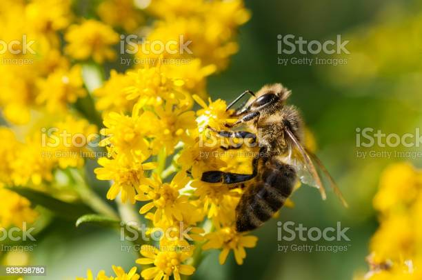Photo of Honey bee collecting pollen from yellow flowers