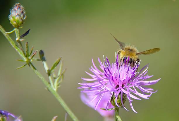 honig biene sammeln von pollen - wilde hilde stock-fotos und bilder