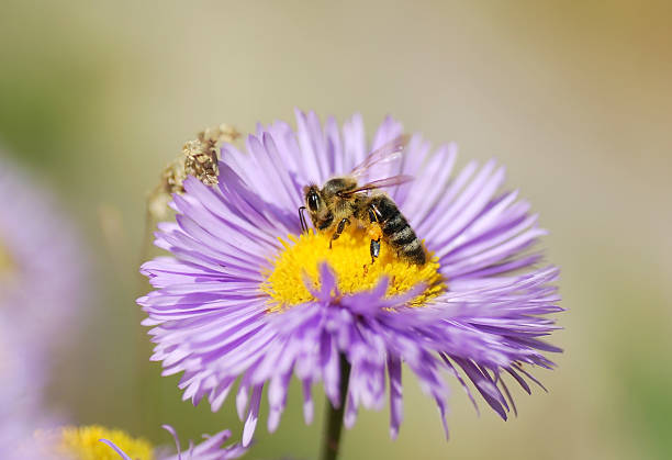 Honey bee collecting pollen stock photo