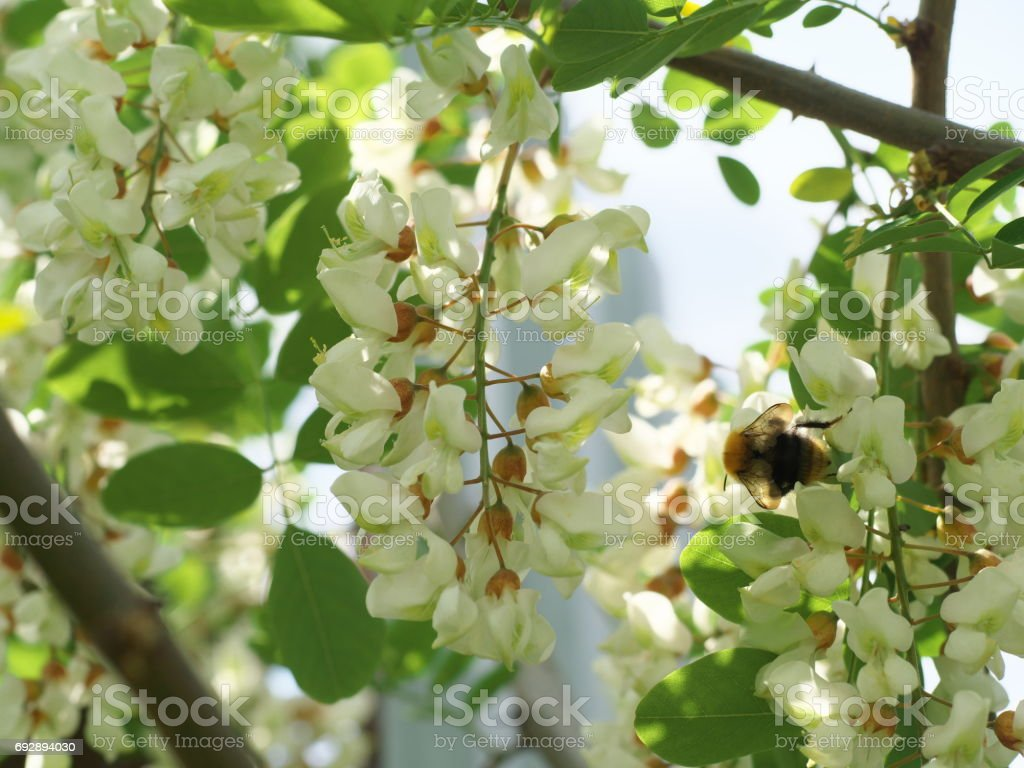 honey bee collects nectar on the white flower of acacia, bee pollinates the acacia flower, closeup stock photo
