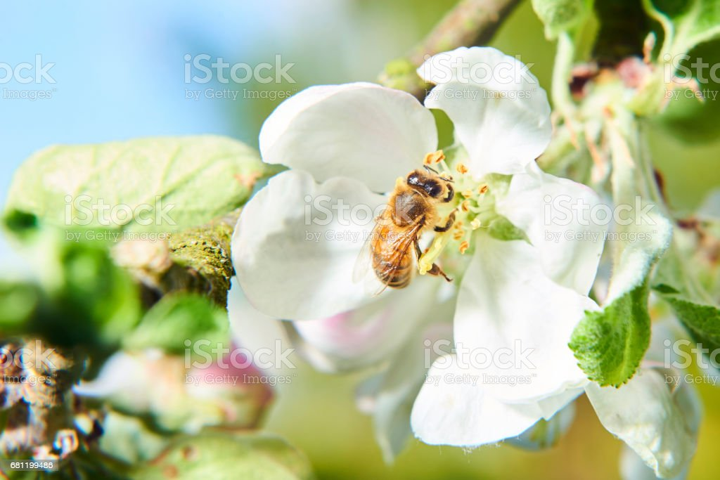 Honey bee collects nectar royalty-free stock photo