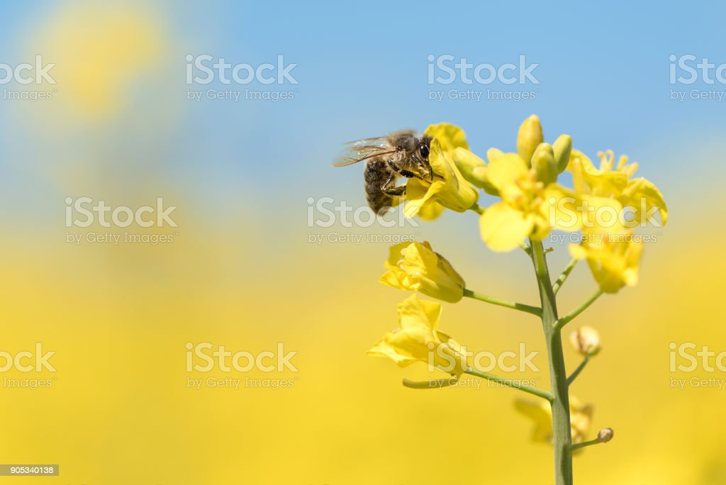 Honey bee collects nectar - rape blossom in spring stock photo