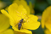 Honey bee collects pollen from an yellow flower in the garden