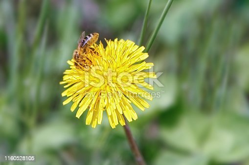 Macrophoto of a bee collecting honey on a yellow dandelion flower. Collecting bee pollen close up. Insect in yellow dandelion pollen.