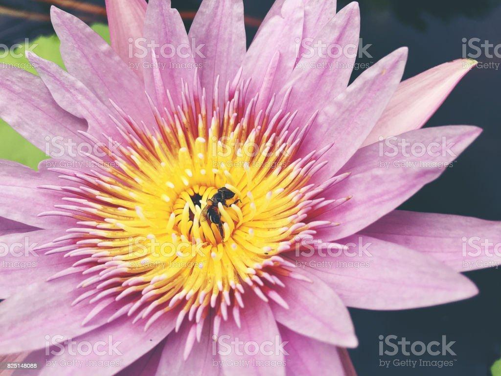 Honey bee collects pollen showing its pollen baskets and flies away honey bee collects pollen showing its pollen baskets and flies away on lotus flower in the izmirmasajfo