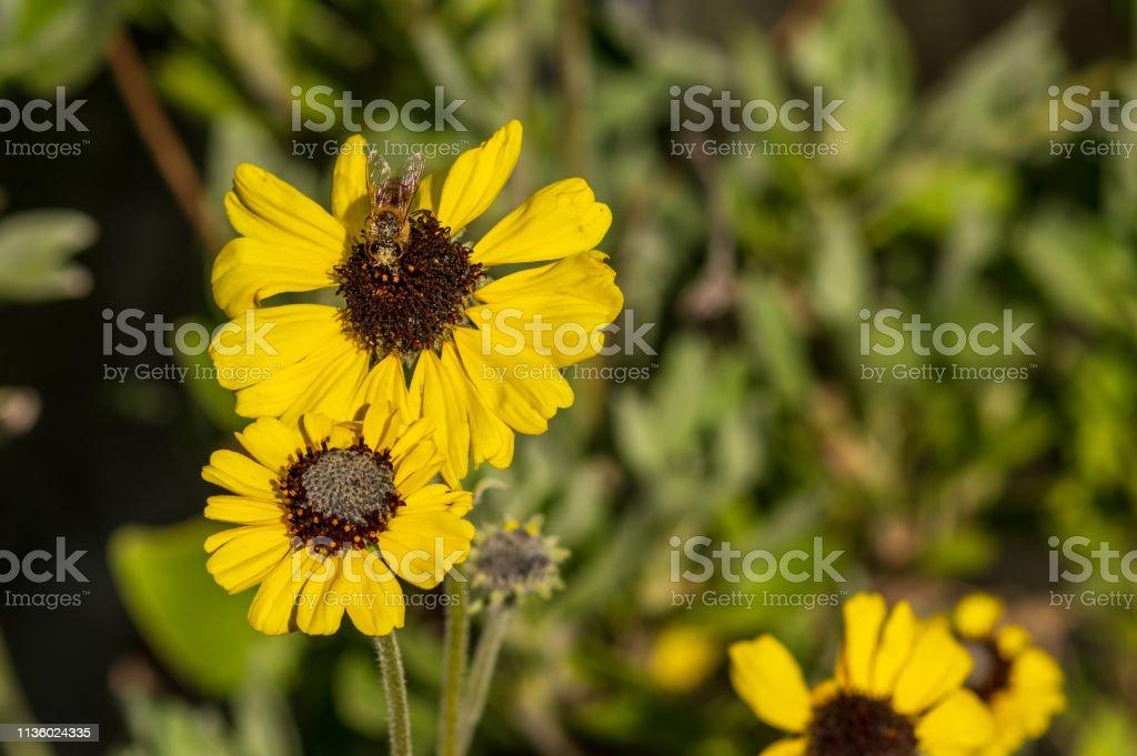Honigbiene mit Pollen auf einer gelben Blume bedeckt, Kopierplatz rechts – Foto