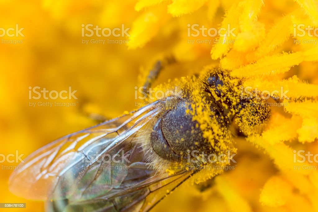 Honey bee covered with pollen stock photo