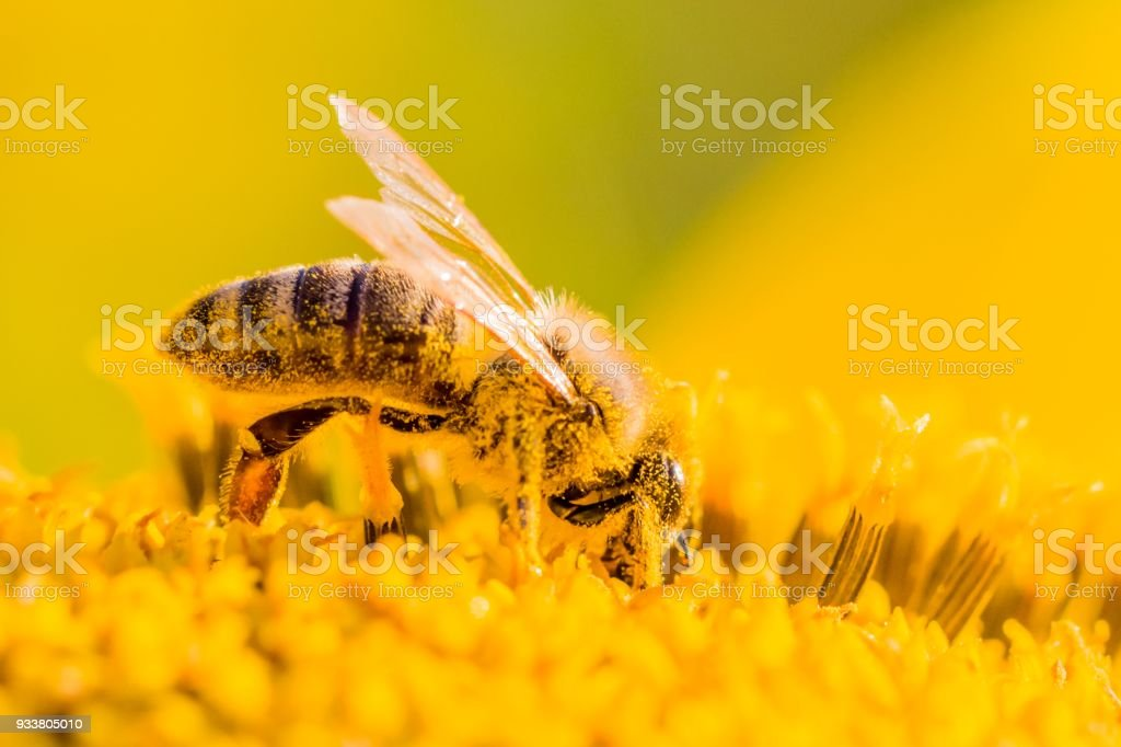 Honey bee covered with yellow pollen collecting nectar in flower stock photo