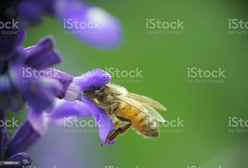 Honey bee drinking nectar on flower royalty-free stock photo