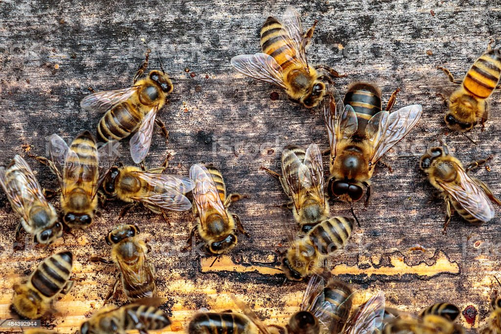 Honey bee drone trying to enter the hive stock photo