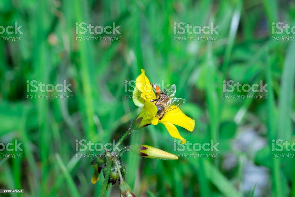 Honey Bee feeding on blossoming yellow flowers stock photo