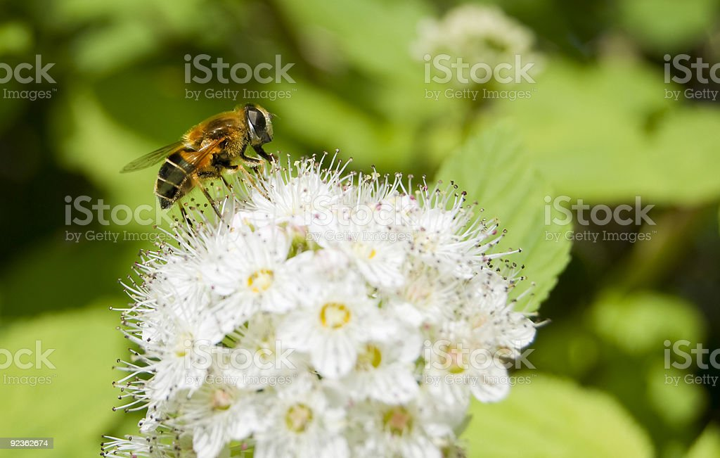 Honey bee feeding royalty-free stock photo