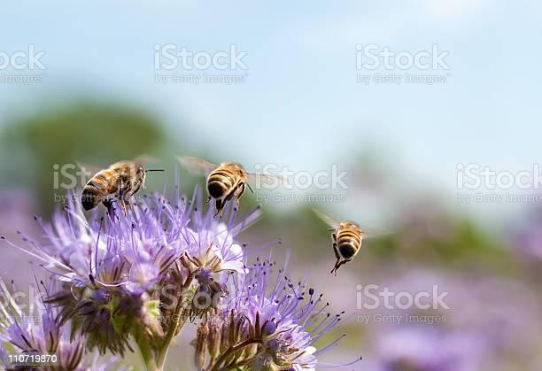 Honey bee flying away picture id110719870?b=1&k=6&m=110719870&s=612x612&h=mqd3a1 digriiqxek5yghbvqccf0dz21ytqhopj8l3s=