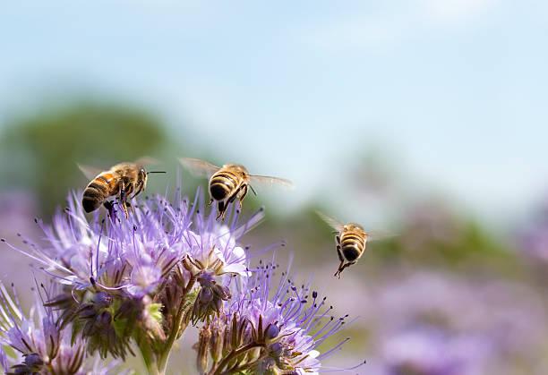 ape domestica volare lontano - ape domestica foto e immagini stock
