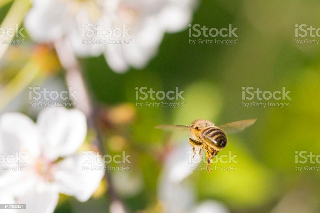 Honey Bee Flying away stock photo