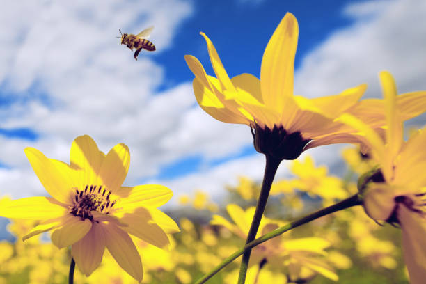 Honey bee flying on spring flowers stock photo
