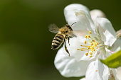 Bee, Animal, Honey Bee, Insect, Apple Blossom