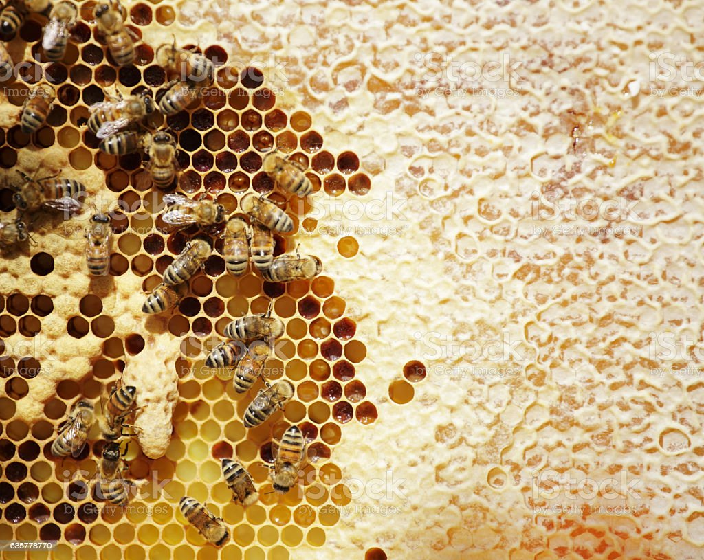 Honey Bee frame with queen cell stock photo