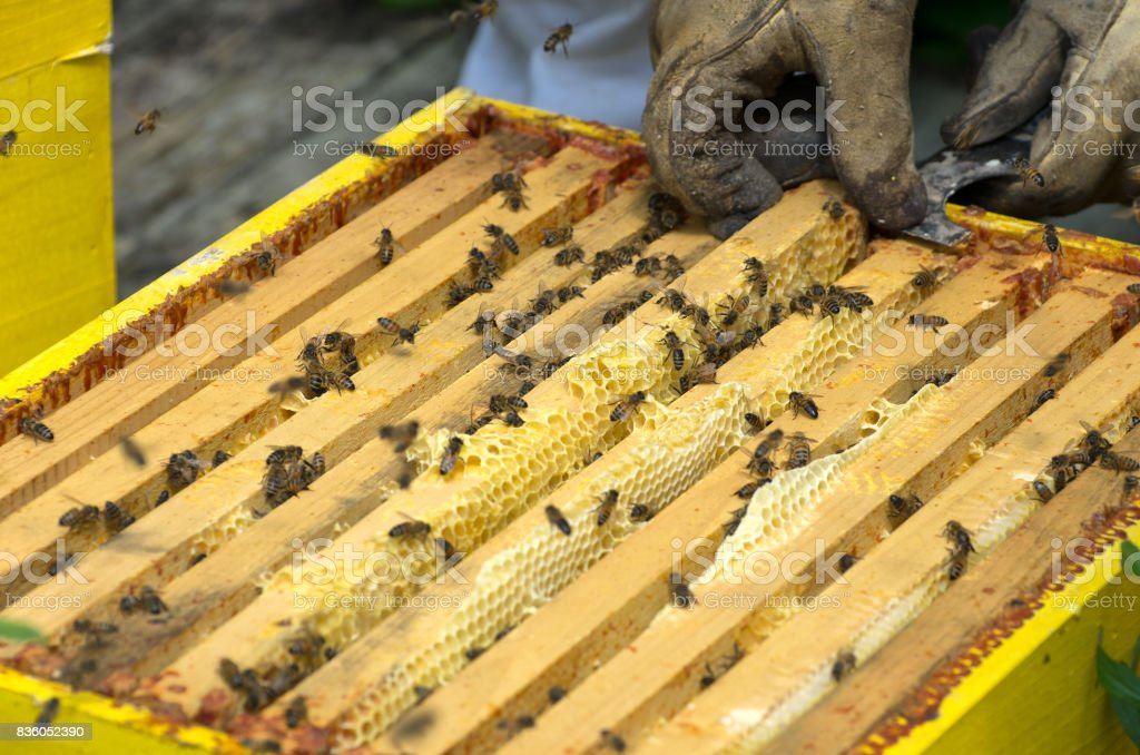 Honey Bee Frames in Hive stock photo