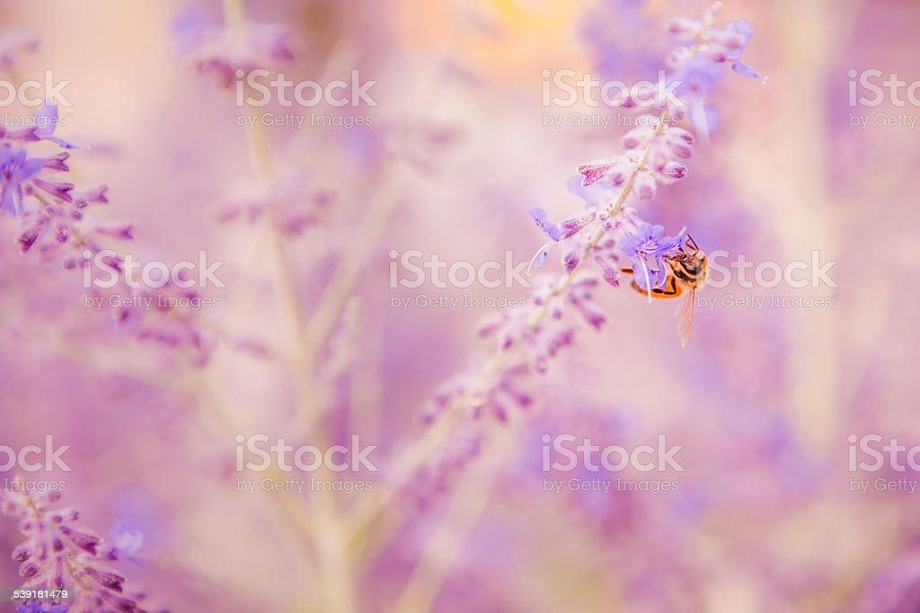 Honey bee gathering nectar from lavender flower Spring & Summer stock photo