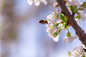 A bee flies to the flowers in flight to collect pollen and nectar. Flowering gardens pollinate the bees.herry Blossom