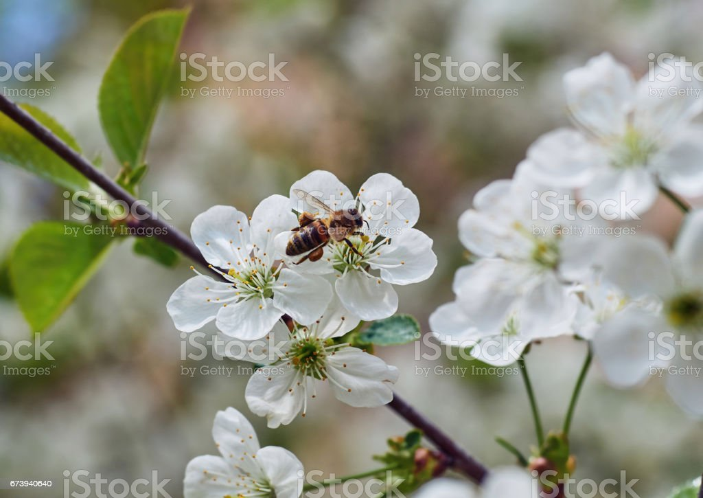 Honey Bee harvesting pollen from Cherry Blossom,bee collecting nectar from white cherry flower photo libre de droits
