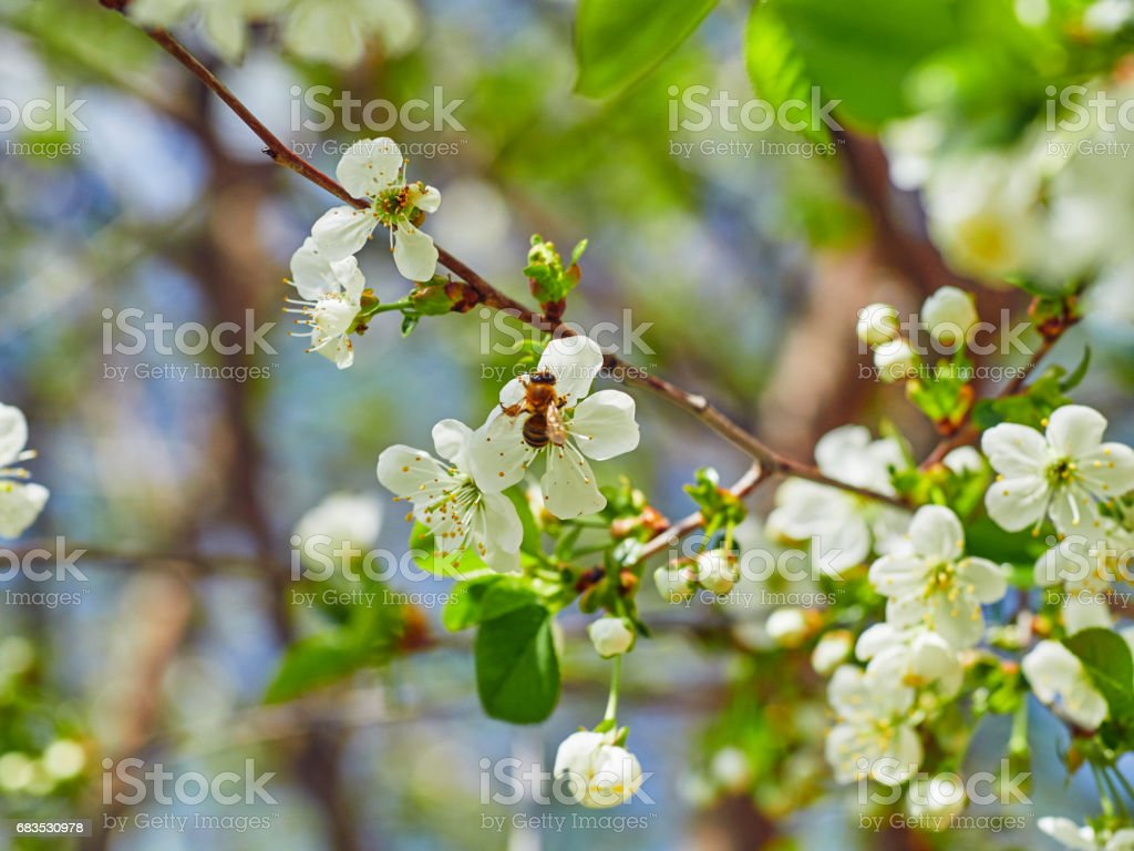 Honey Bee harvesting pollen from Cherry Blossom,bee collecting nectar from white cherry flower stock photo