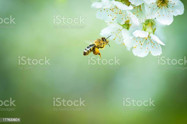 Photo of Honey bee in flight approaching blossoming cherry tree