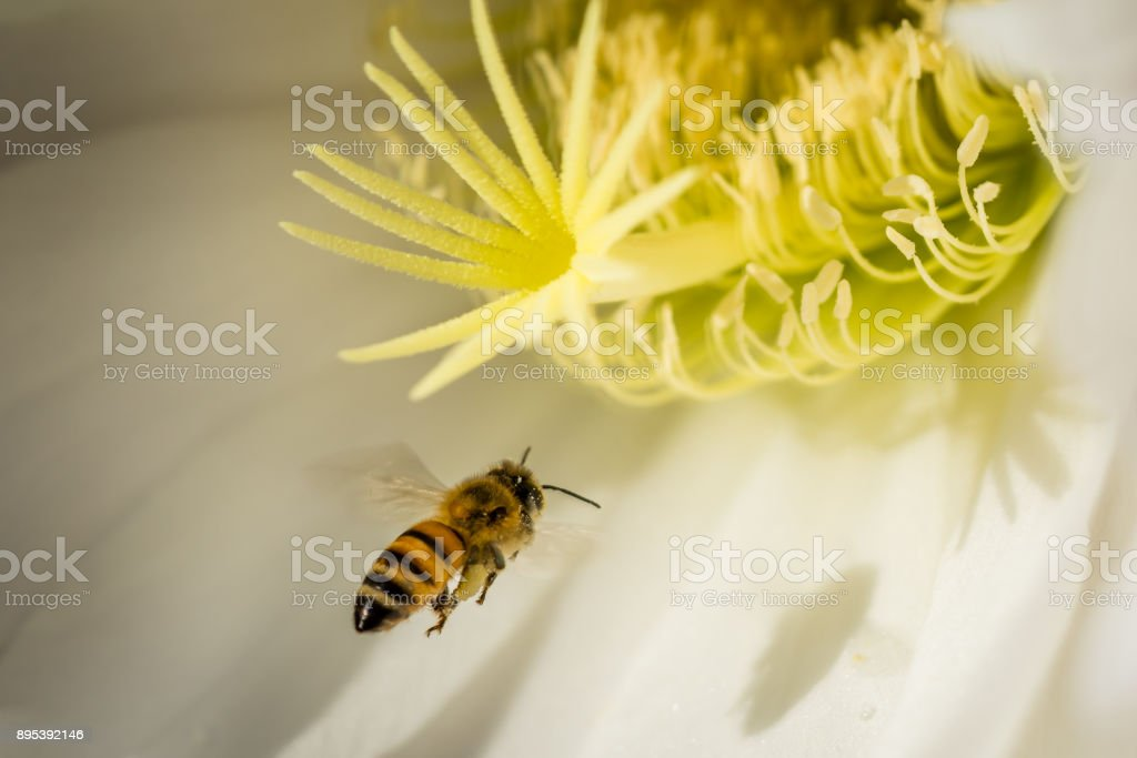 Honey Bee in flight to flower of torch cactus stock photo