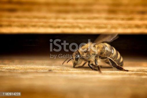 honey bee in front of wooden beehive