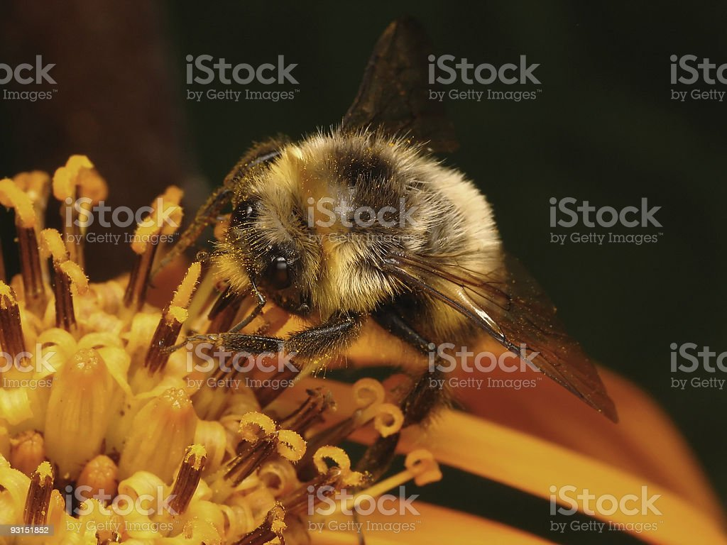 Honey bee  in the work royalty-free stock photo