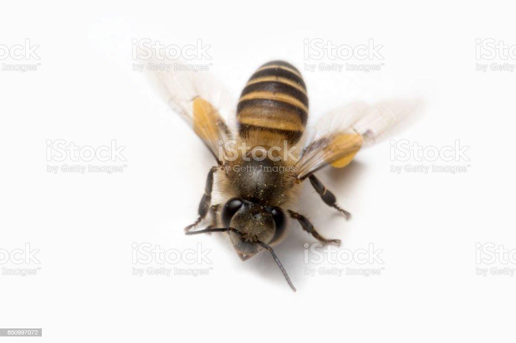Honey Bee in White Background. stock photo