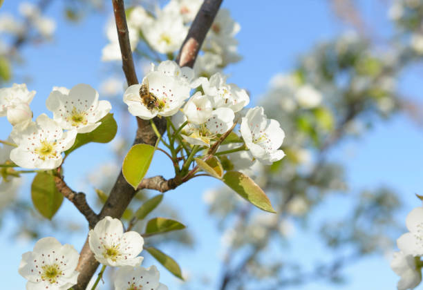 Honey bee is collecting pollen on a beautiful blooming pear tree stock photo