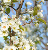 Spring bagckround - the bee and branch of a blossoming tree. Bee collecting pollen on white pear blossom
