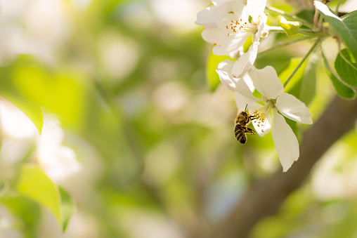 Honey bee is collecting pollen on a beautiful blossoming apple tree against blurred background