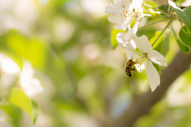 honey bee is collecting pollen on a beautiful blossoming apple tree against blurred background - ape foto e immagini stock