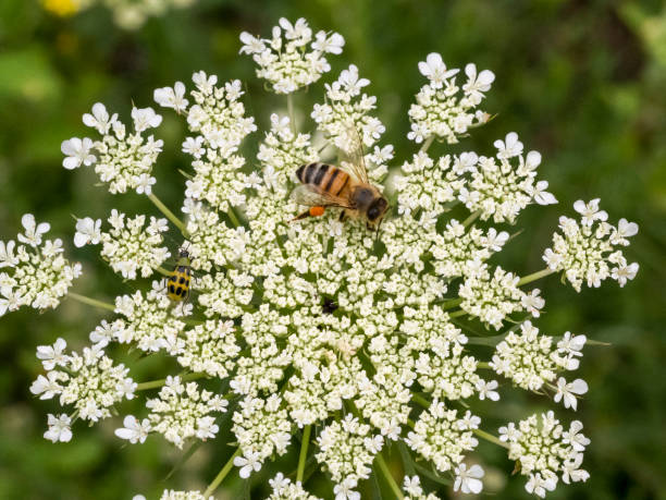 Honey Bee Laden Pollen Basket On White Flower in Oregon stock photo