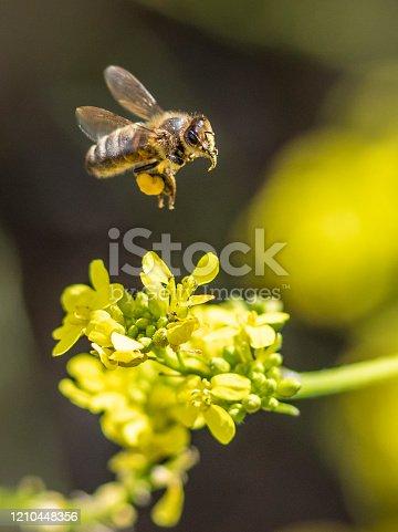 Victoria, Australia. Pic of honey bee landing on flowers.