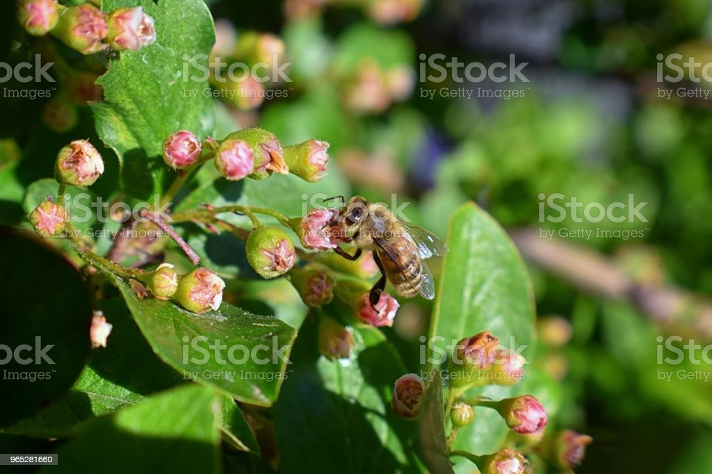 Honey Bee, Macro closeup view, collecting nectar and pollen on a Cotoneaster flower blossom which is a genus of flowering plants in the rose family, Rosaceae in a Cottage Garden in Utah, USA. zbiór zdjęć royalty-free