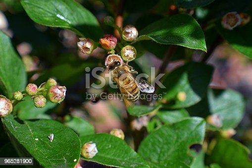 Honey Bee Macro Closeup View Collecting Nectar And Pollen On A Cotoneaster Flower Blossom Which Is A Genus Of Flowering Plants In The Rose Family Rosaceae In A Cottage Garden In Utah Usa - Stockowe zdjęcia i więcej obrazów Bez ludzi