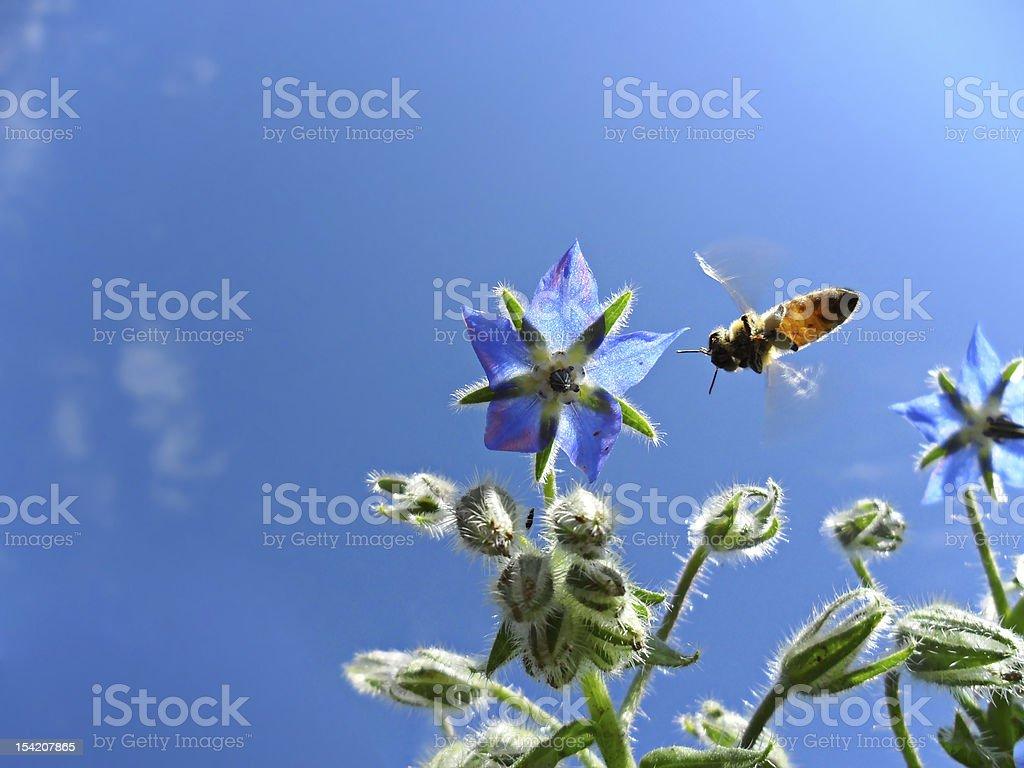 honey bee. Macro image royalty-free stock photo