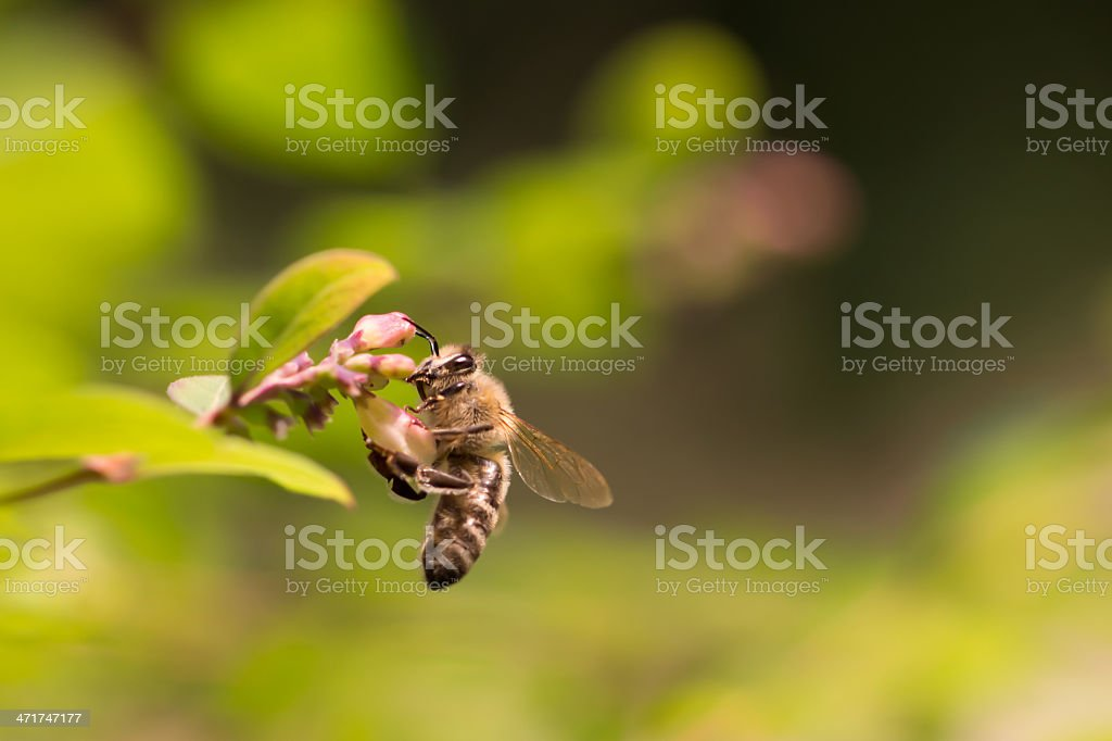 Honey bee on a beautiful flower stock photo