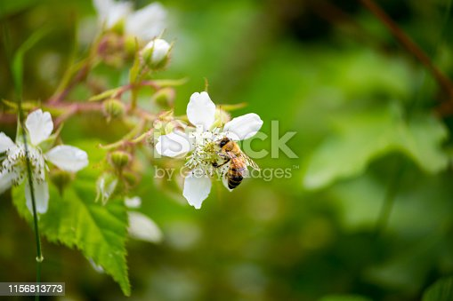istock Honey bee on a Blackberry Flower (Close-up) 1156813773