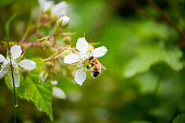 Honey Bee / Apis on a Blackberry / Rubus Ursinus Flower under natural light.