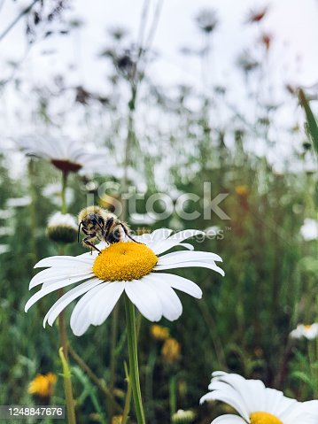 A honey bee resting on a common daisy