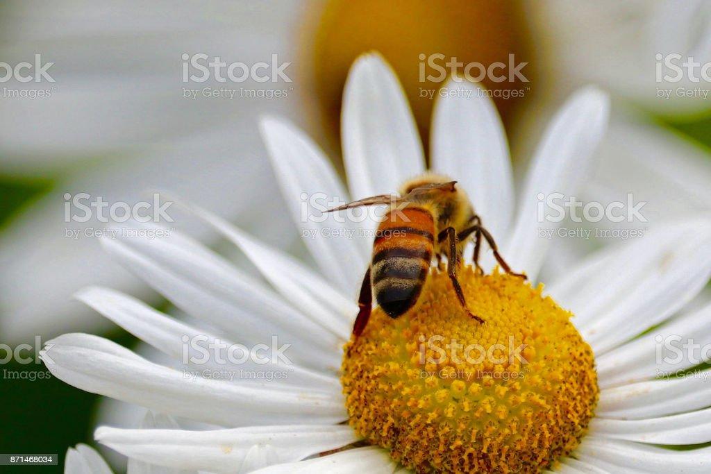 Honey Bee on a Daisy stock photo