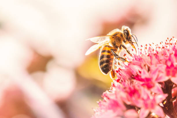 Honey bee on a pink flower bathed in sunlight making his wings shine and the fur on his body bright due to the backlight. stock photo